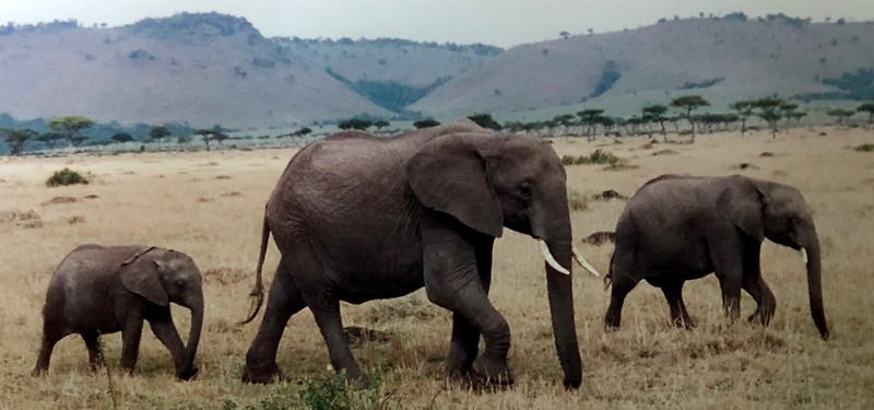Elephant Family in the Masai Mara of Kenya, Africa.