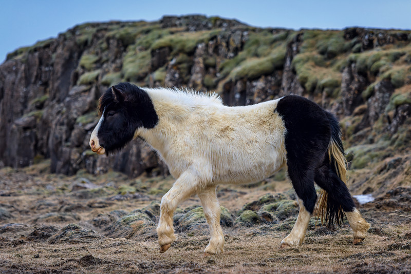 A black and white Icelandic horse in the moss on the south coast of Iceland