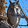 Sleeping Great Horned Owl