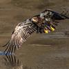 Iowa Eagle