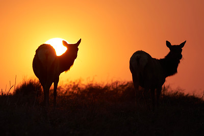 Tule Elk at Sunrise