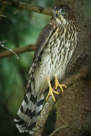 Coopers Hawk (juvenile)