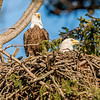 Bald Eagle Pair In Their Nest 3/8/17
