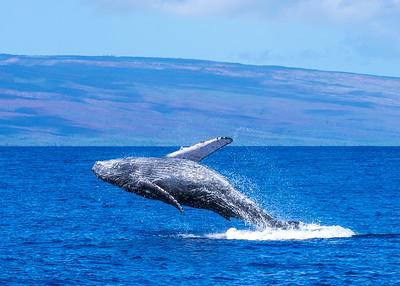 Humpback whale, Maui, HI