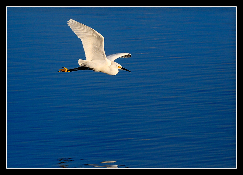 Snowy Egret Over Lake  A snowy egret flies close to the Shoreline Lake surface  Shoreline Park Mountain View, California  04-MAR-2010