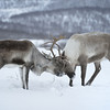 Two Reindeer Locking Antlers, Norway