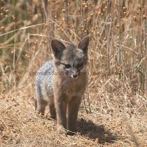 Young Grey Fox