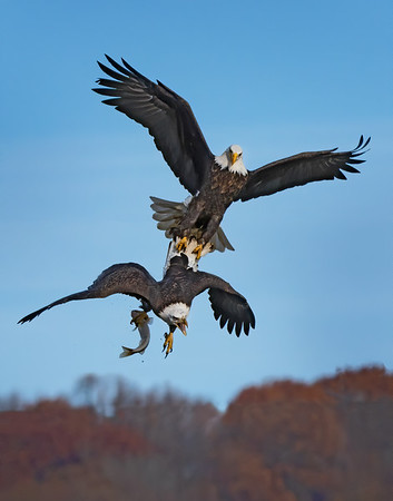 A245 - Eagle Fight at Conowingo