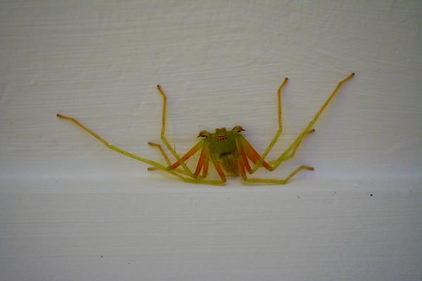 Frog-like spider