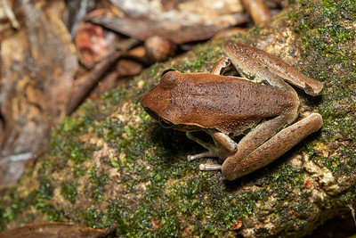 Northern Barred Frog