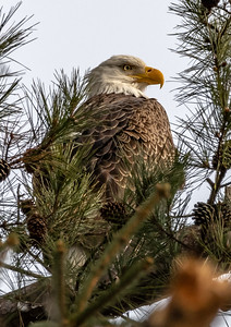 Bald Eagle Perched in a Tree 1/28/19