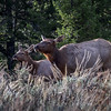 Female elk and calf in the sagebrush in the rain, Grand Teton National Park, Wyoming