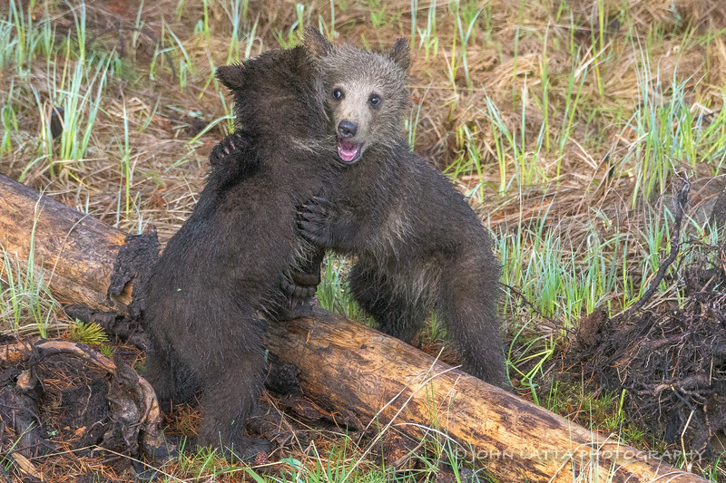 Two Grizzly Cubs Play Fighting