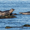 Harbor Seals Resting On The Rocks In Sandy Hook Bay 2/15/20