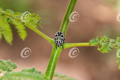 Tiny Black and White Shield Bug
