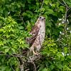 A Juvenile Red-Tailed Hawk 6/5/16