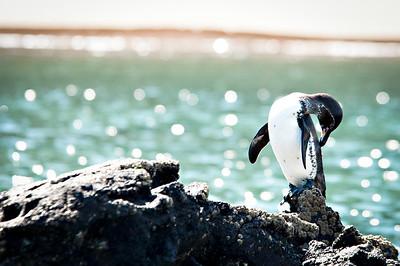 Galapagos Penguin grooming - Isla Genovesa