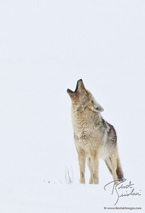 Howl of the Coyote