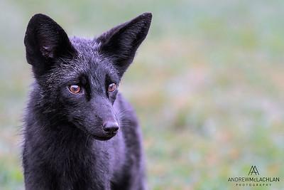 Red Fox (Vulpes vulpes) - black phase, HUmber Bay Park, Toronto, Ontario, Canada