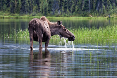 Cow moose lazily eating. Wind River region, Yukon Territory. Images from 2 week canoe trip through the Wind River in Northern Yukon, Canada. The Peel River Watershed is located at the northern end of the Rocky and Mackenzie Mountain Chain.