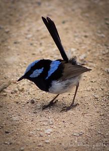 The Blue Wren
