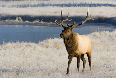 Frosty River Elk