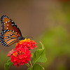 Butterfly Red Lantana