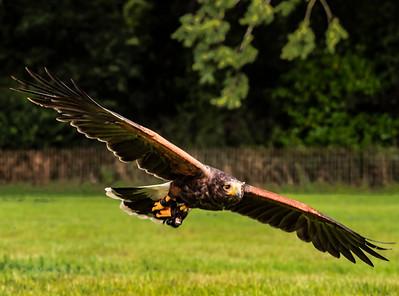 UK - Harris Hawk in Flight at low level