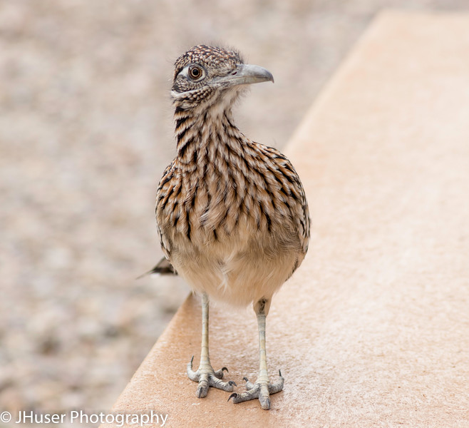 Greater Roadrunner standing and staring