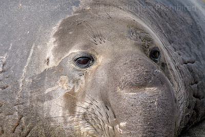 Elephant Seal Close-up
