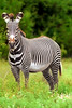 Grevy's zebra, the largest and most threatened of the three species of zebra.