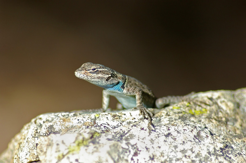 Fence Lizard, IN