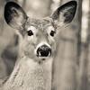 Tall Ears