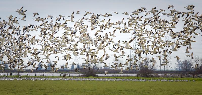 Snow Geese 3540