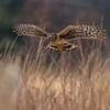 Northern Harrier Hunting 1/6/17