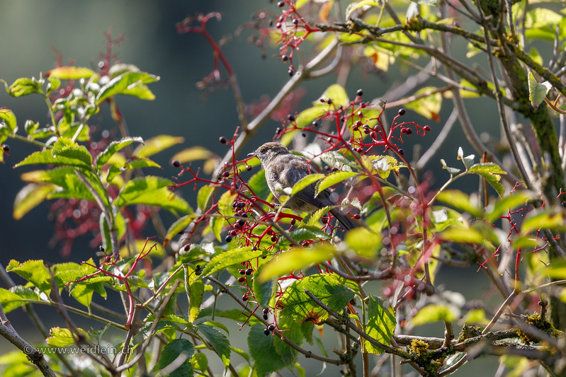 Female Blackcap with berries