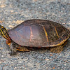 Female Slider Turtle 5/27/16