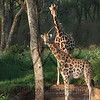 African Giraffe at a watering hole