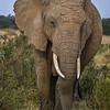 Elephant in Masai Mara, Kenya, East Africa