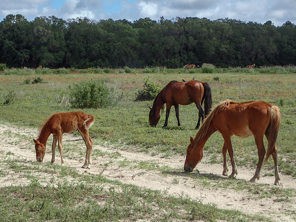 Cumberland horses and foal