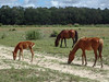 Cumberland horses and foal