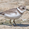 Semipalmated plover posing