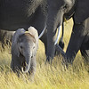 Baby Elephant in the Grass, Kenya, East Africa