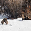 Grizzly #399 and cubs - Grand Teton NP | Wyoming