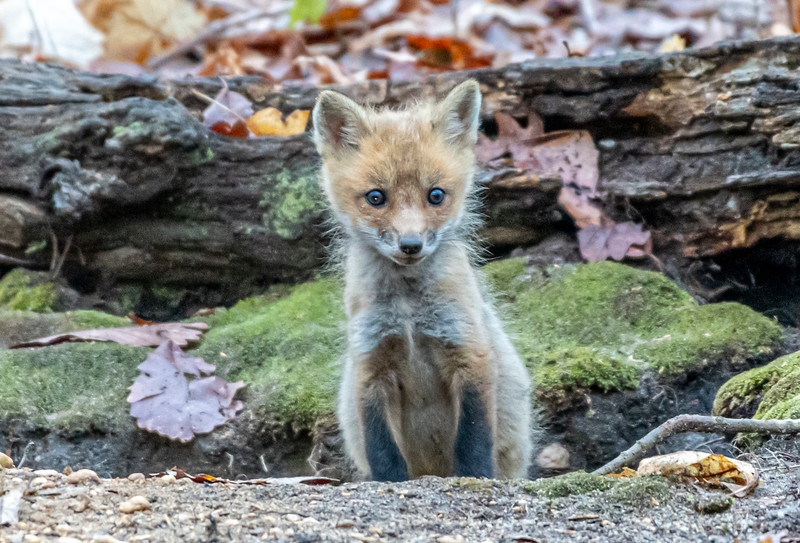 A Red Fox Kit At Their Den 4/30/21