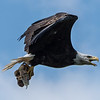 Bald Eagle with Meal 7/9/17
