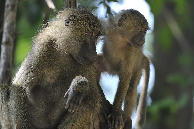 Baboon mother and baby in tree at Lake Manyara, Tanzania, East Africa