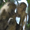 Baboon mother and baby in tree at Lake Manyara, Tanzania, East Africa