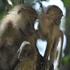 Baboon mother and baby in tree at Lake Manyara, Tanzania
