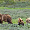 Grizzly 399 and Her Four One-and-Half Year Old Cubs